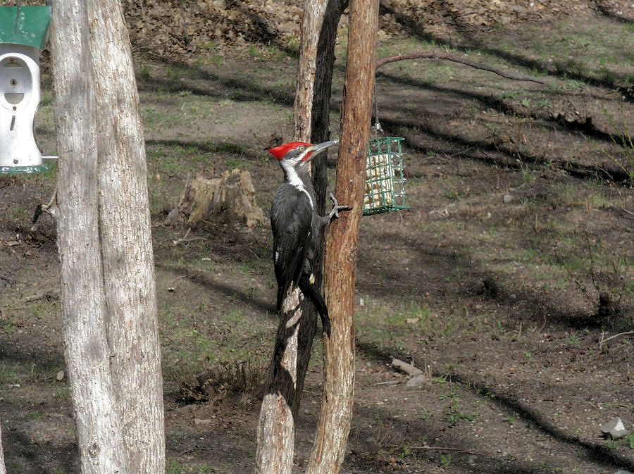 Male Pileated, April 19 2006