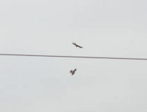 a pair of Northern Harriers