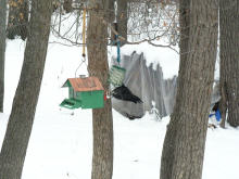 Hanging from the suet