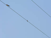 a Barn Swallow and a Hummer on the wire