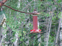at the nectar feeder in the early evening
