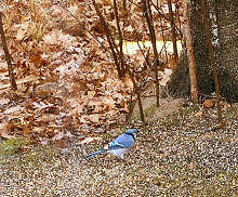 an autumn Bluejay