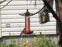 a Chickadee at the hummer feeder