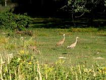 a group of Sandhill Cranes, 8/31/05