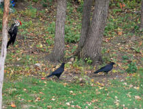 Crows on the ground with a Pileated on the tree