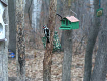 a Downy Woodpecker resting by our suet feeder