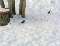 a pair of Juncos, 12/04/05