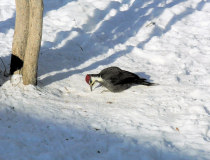 Pileated picking suet off the ground