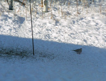 a Mourning Dove in December