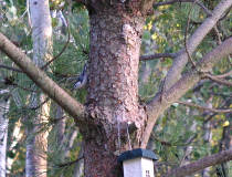 a Nuthatch in the Pine Tree