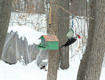 male Pileated on the suet feeder