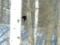 female Pileated in flight, Jan 15 2006