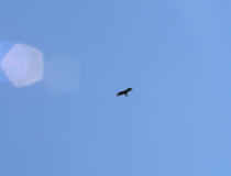 a Turkey Vulture in September